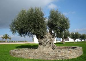 1280px-Olive_tree