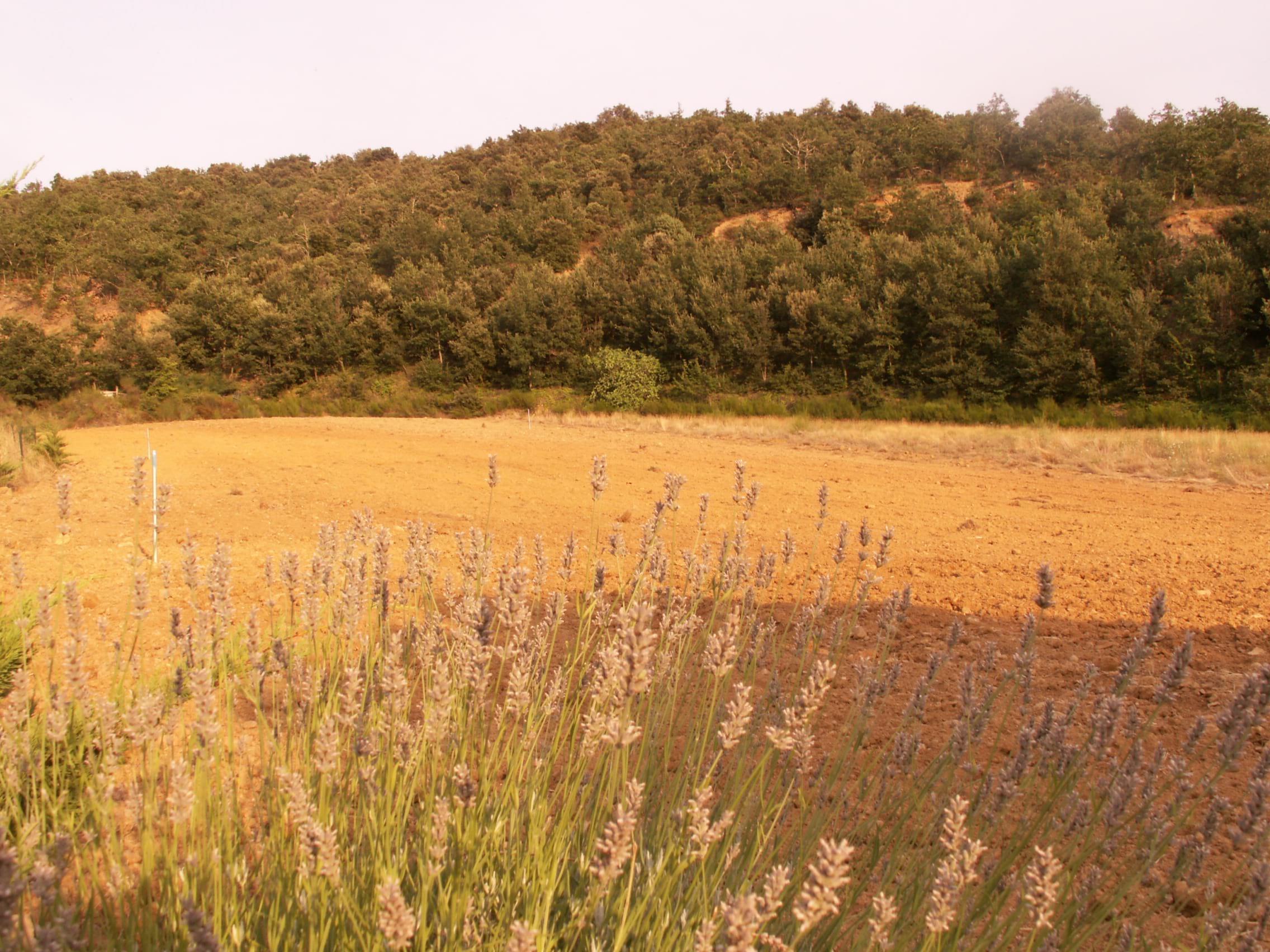 Saffron fields