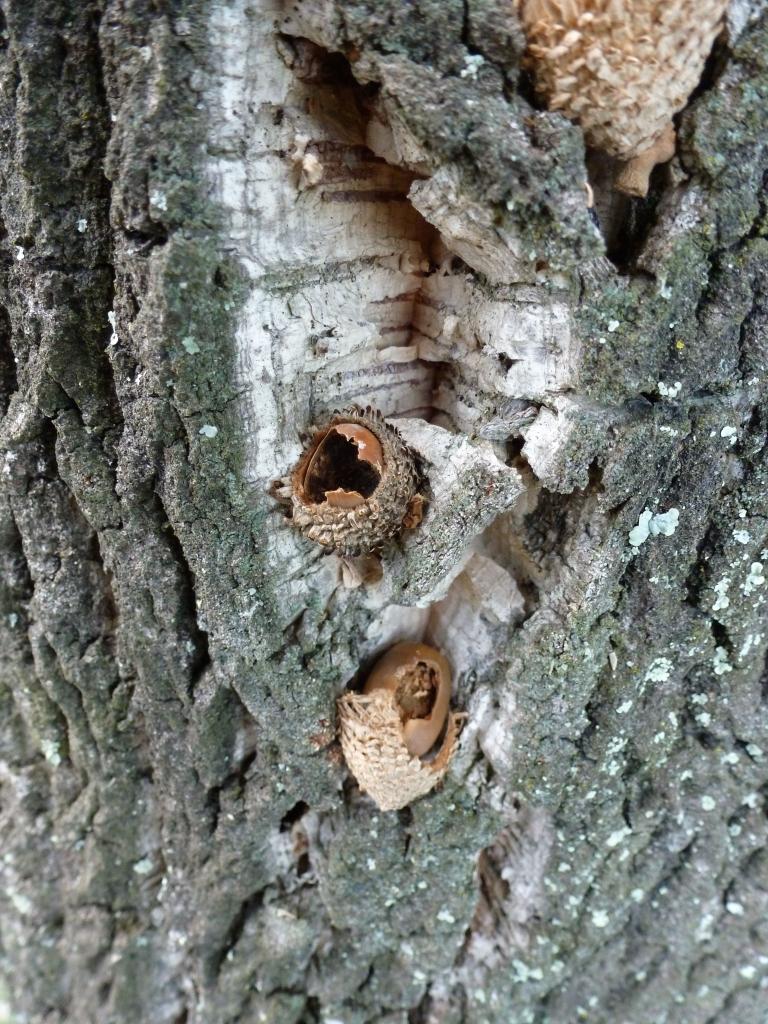 Acorns wedged in cork bark