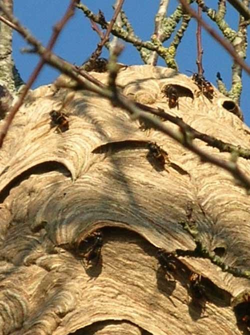 Asian-Hornet_Vespa-velutina-nigrithorax_ Frelon_asiatique_Showing-entrance-points-to-nest_France