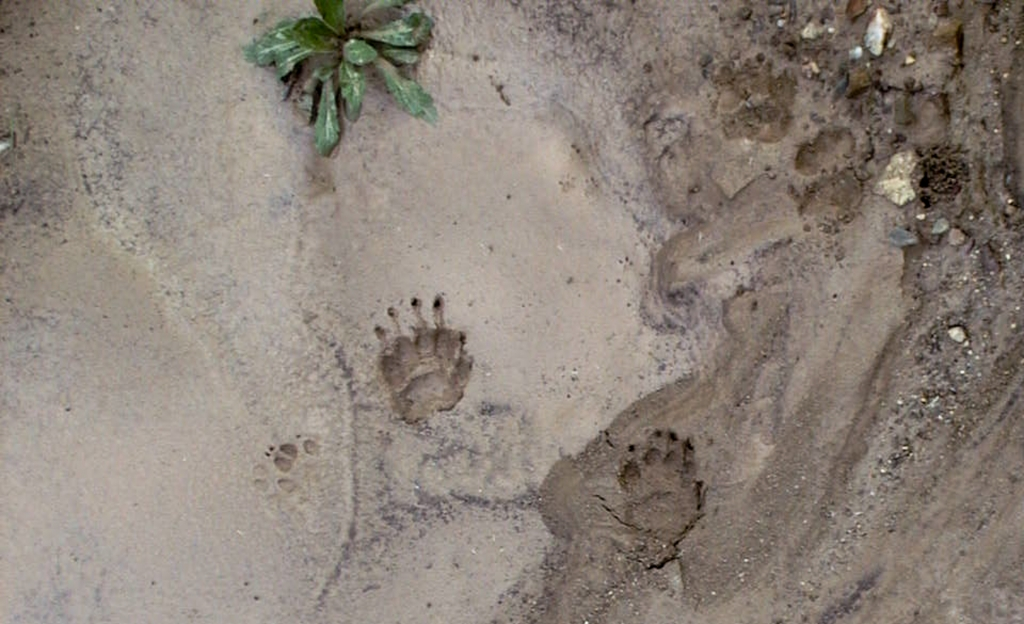 Badger and fox prints