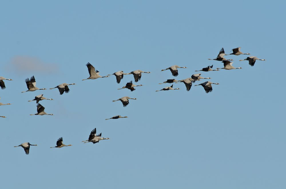 Common Crane (Grus grus) Migrating south, using the usual triangular formation in order to conserve energy. Villafafila, Zamora, Spain