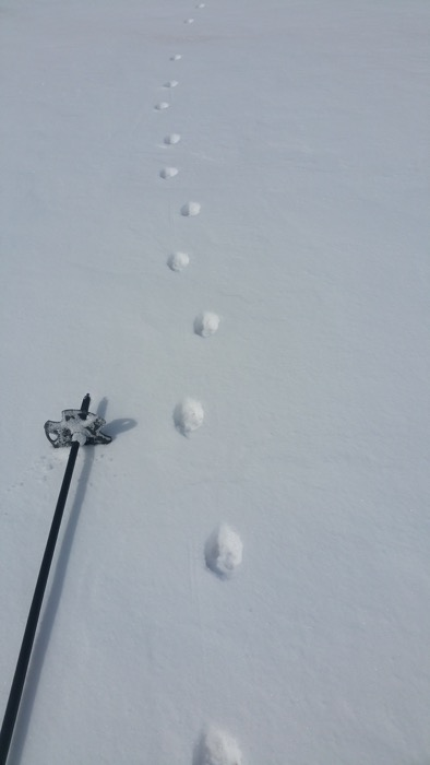 Fox track