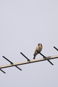 Goldfinch copy