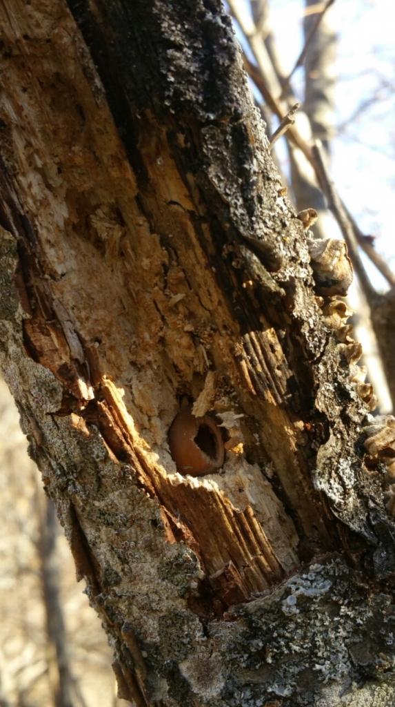 Hazelnut in Woodpecker Anvil