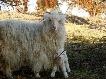 Angora sheep in the Pyrenees