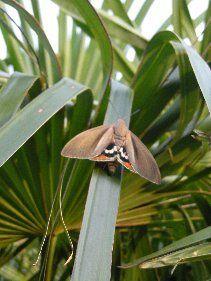 Paysandisia archon moth