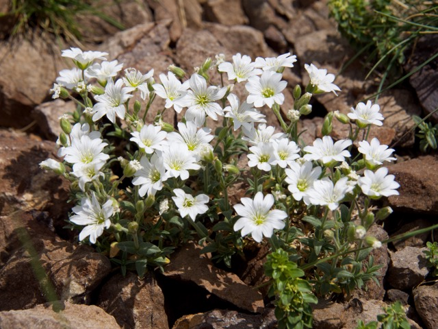 Mouse-ear or Saxifrage
