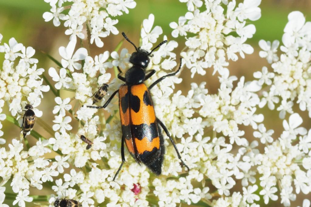 Orange blister beetle (Mylabris variabilis)