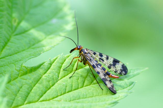 Scorpionfly - Panorpa family