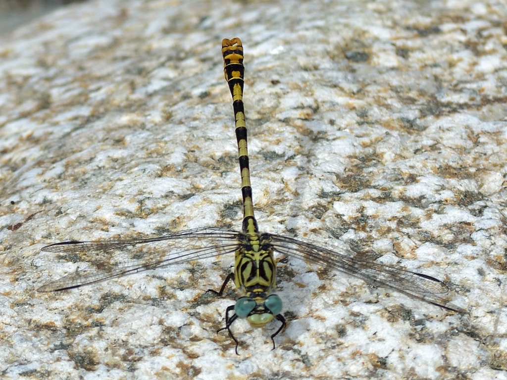 Small Pincertail m (Onychogomphus forcipatus) DSB_1277