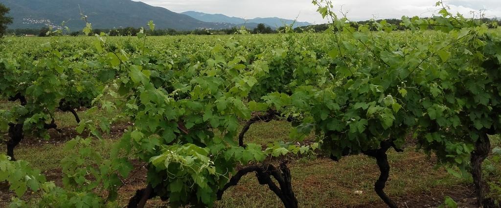 Vineyard in June