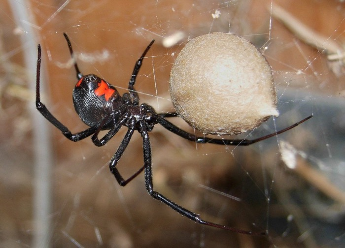 Black Widow Spider guarding cocoon