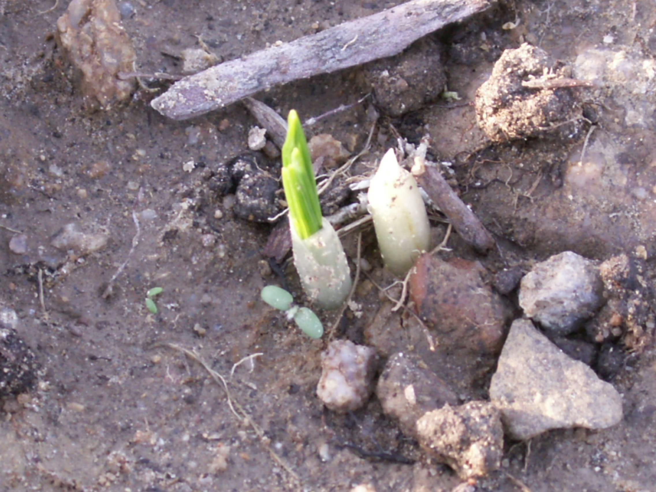 New saffron shoots