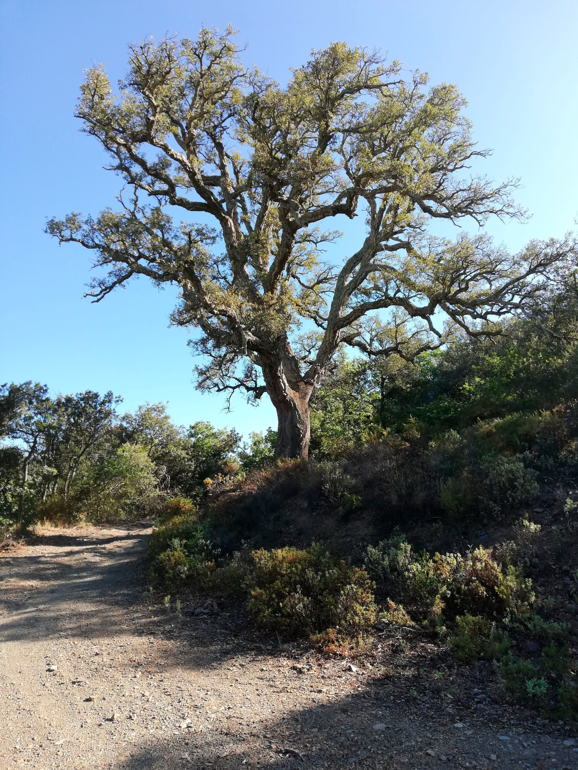 Huge cork oak tree