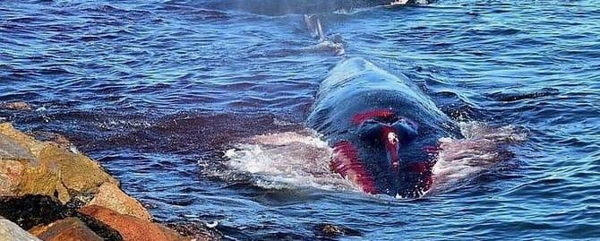 whale/baleine Saint Cyprien