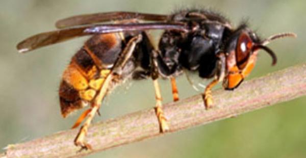 Asian Hornet