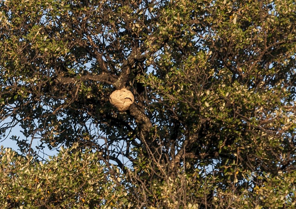 Asian hornet nest