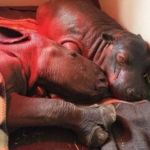 Best friends -Makhosi the rhino orphan with Charlie the hippo orphan - photo credit Thula Thula
