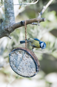 Blue tit - demonstrating Pilates technique copy
