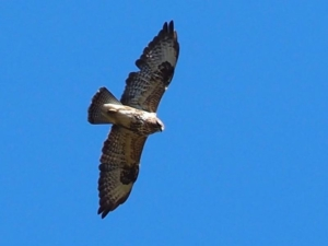 buzzard po naturally