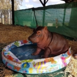 Charlie the hippo orphan who hated water - learning to play in kiddie pool