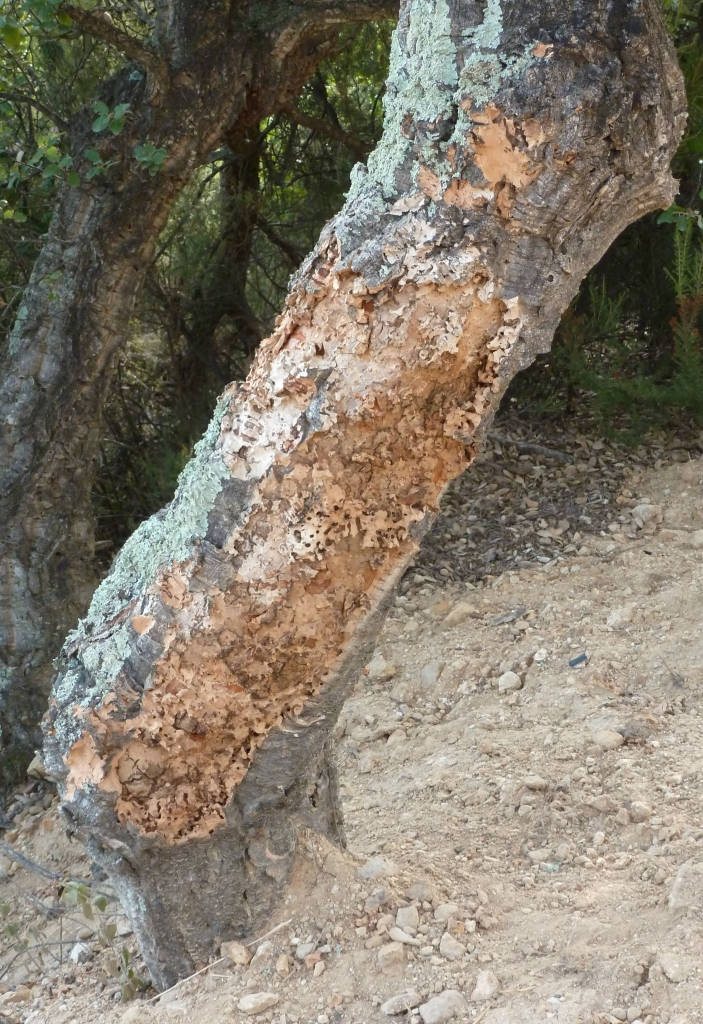 Cork bark hacked off