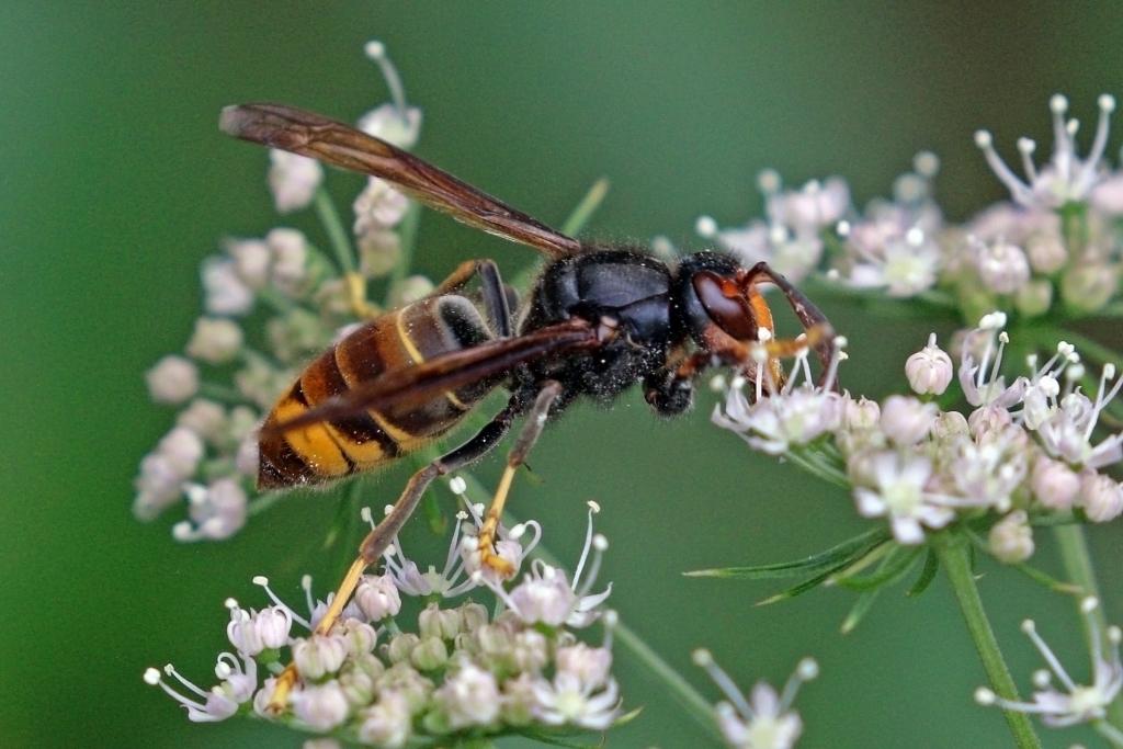 Asian Hornet (Credit C.J. Sharp)