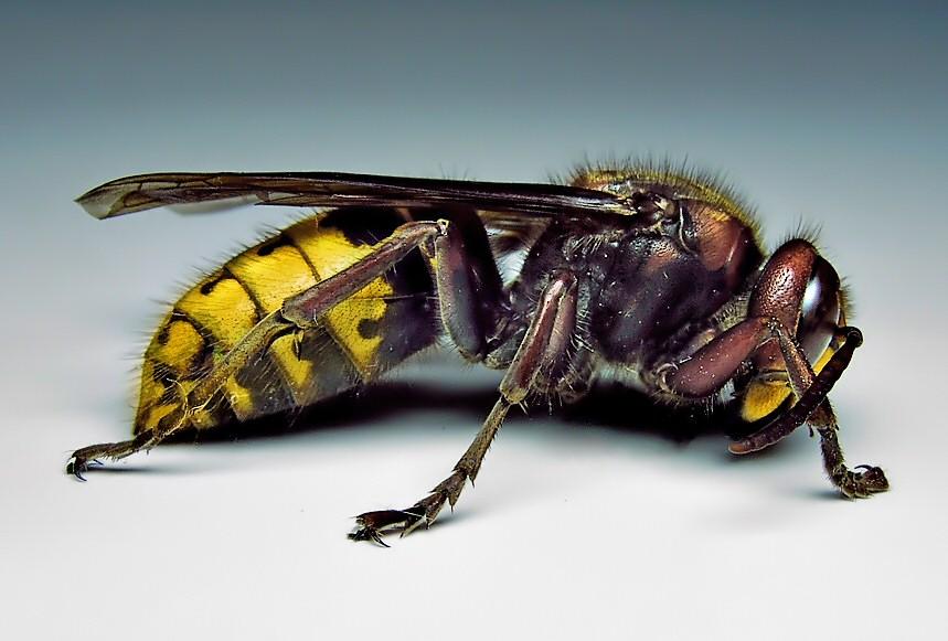 European hornet (Credit: P. Namek
