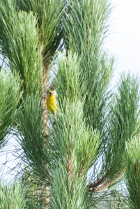 Greenfinch copy 2
