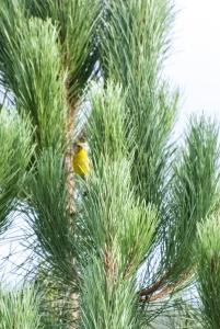 Greenfinch copy 2