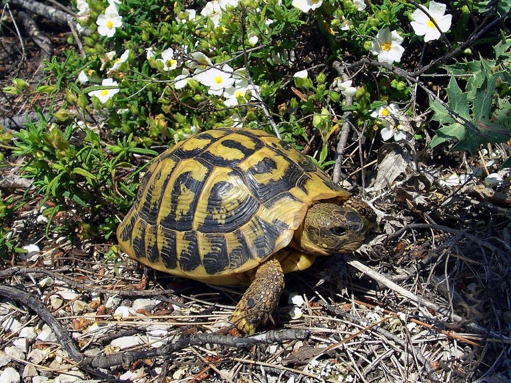 Hermann Tortoise_Credit Orchi