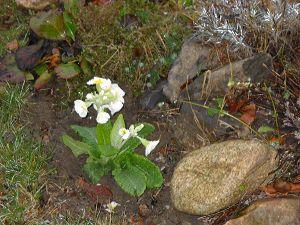 First primroses