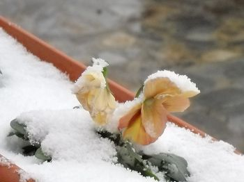Snow covered pansy in window box