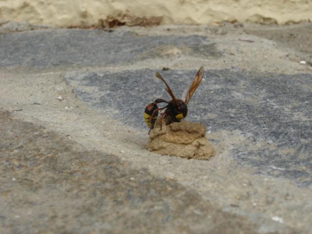 Mason Wasp Delta unguiculata 1
