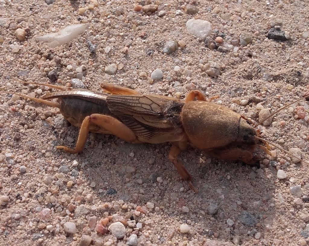 Mole cricket cropped