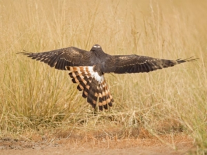 Montagu's harrier po naturally