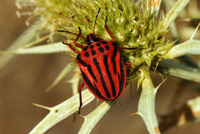 Shield Bug (Graphosoma semipunctatum)