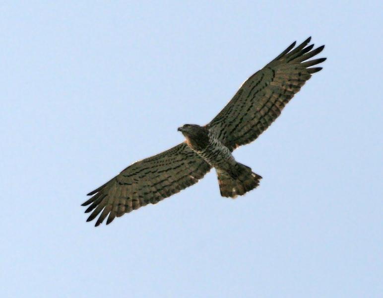 Short-Toed_Snake_Eagle_(Circaetus_gallicus)_in_Kawal_WS,_AP_W_IMG_2266