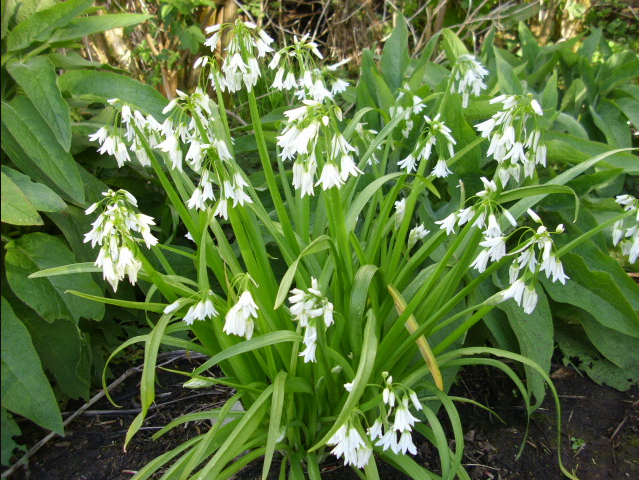 Wild garlic garlic pesto anglophone direct these and other varieties commonly found lurking in woods hedgerows lanes and fields are free and very tasty you will often smell them before you spot mightylinksfo