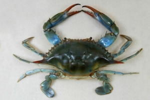 Callinectes sapidus, the blue crab