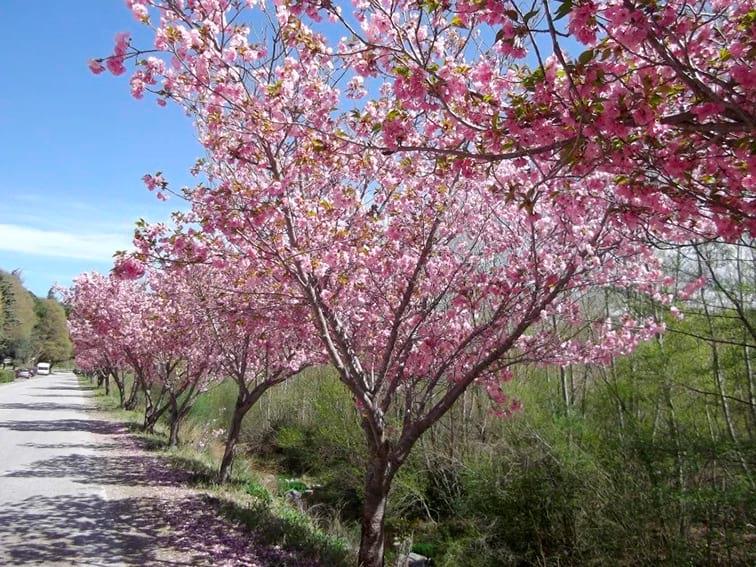 amelie cherry blossom (2)