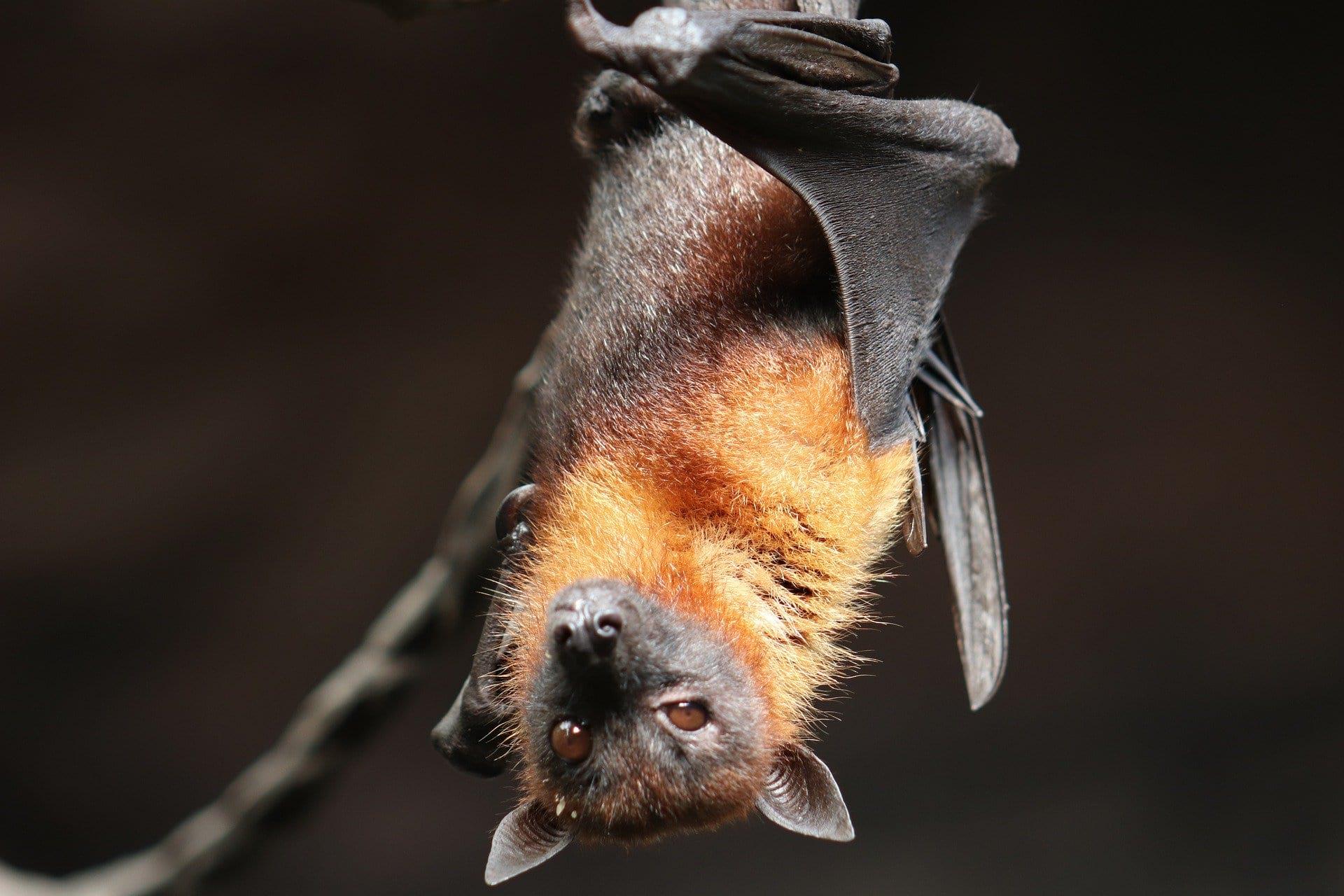 bat tony