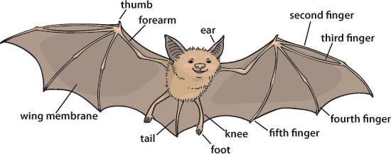 batty about bats p o life. Black Bedroom Furniture Sets. Home Design Ideas