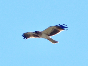 booted eagle po naturally