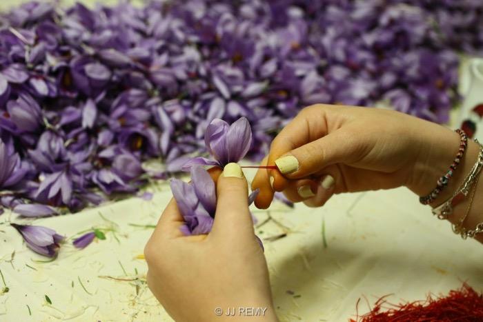 Saffron émondage (11)