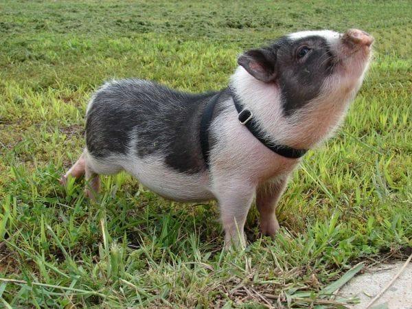 pet Vietnamese pig
