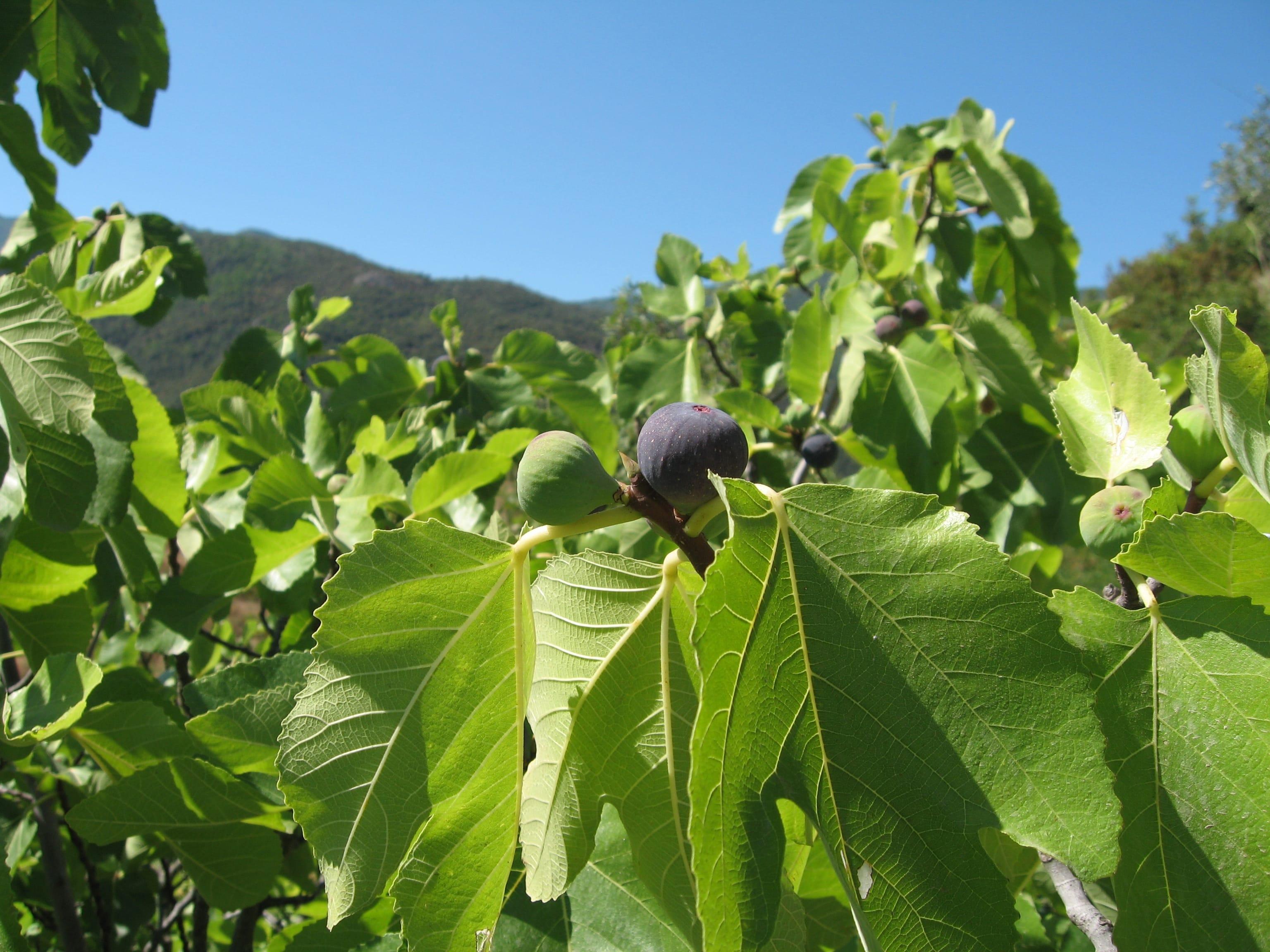 Figs in September