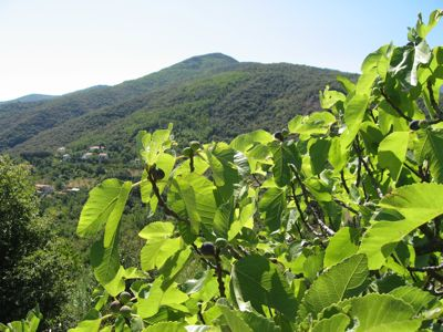 Fig trees in the Pyrenees-Orientales