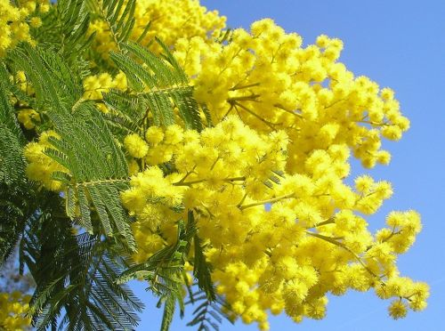 Mimosa in the Pyrenees Orientales